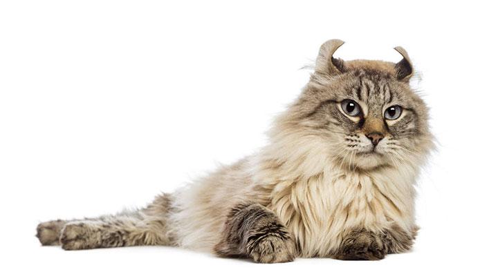 แมว American Curl