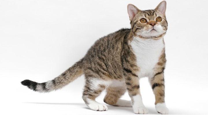 แมว American Wirehair