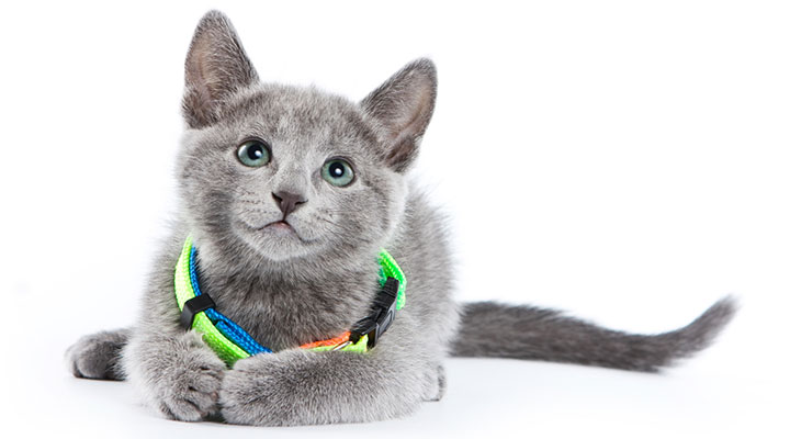 แมว Russian Blue