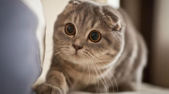 แมว Scottish Fold