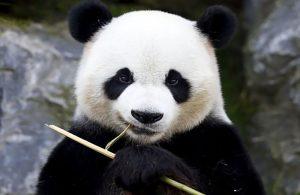 หมีแพนด้า สิ่งมีชีวิตที่น่ารักมากที่สุด